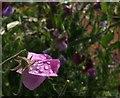 SP1772 : Sweet peas, kitchen garden, Packwood House by Derek Harper