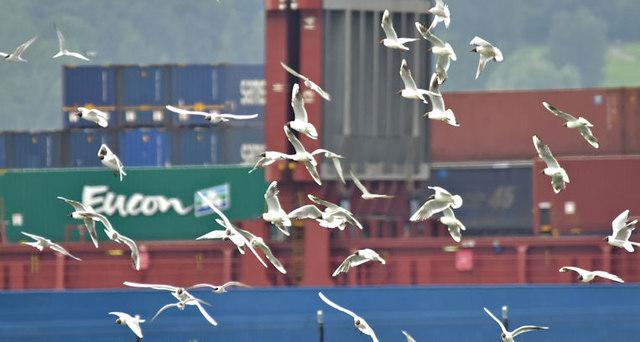 Gull flock, Belfast harbour (July 2017)