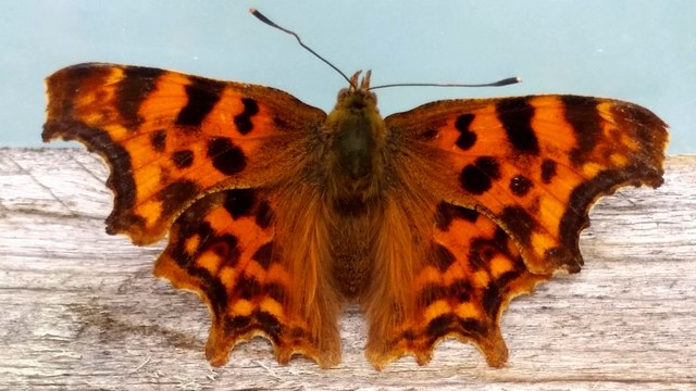 Comma Butterfly, Polygonia c-album