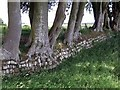 NZ0288 : Old wall and beech trees by Andrew Curtis