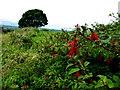 H3383 : Fuchsia hedge, Meaghy by Kenneth  Allen