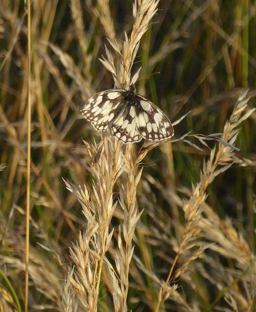 Marbled White butterfly, Denbies hillside