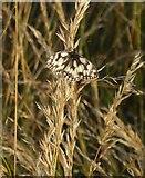 TQ1450 : Marbled White butterfly, Denbies hillside by Stefan Czapski