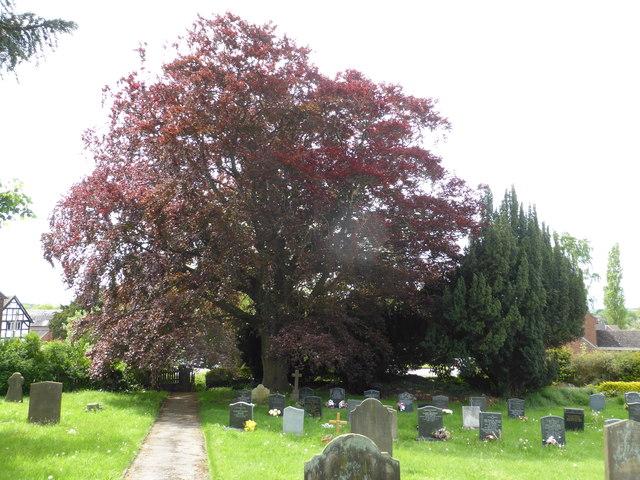 Churchyard with Copper Beech