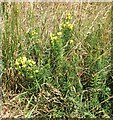 TG3203 : Common toadflax  (Linaria vulgaris) by Evelyn Simak