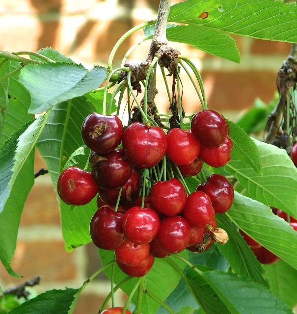 Sweet cherry ( Prunus avium)