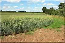 SO8845 : Wheat north of Croome Park by Derek Harper