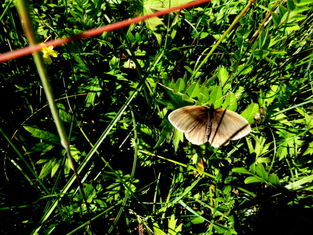 Meadow brown butterfly, Tullybryan