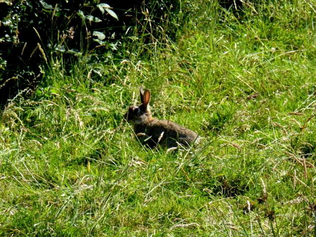 Rabbit in long grass, Tullybryan