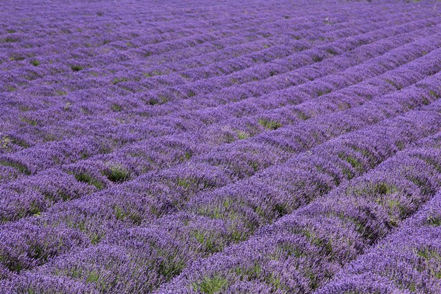 Lavender fields at Castle Farm