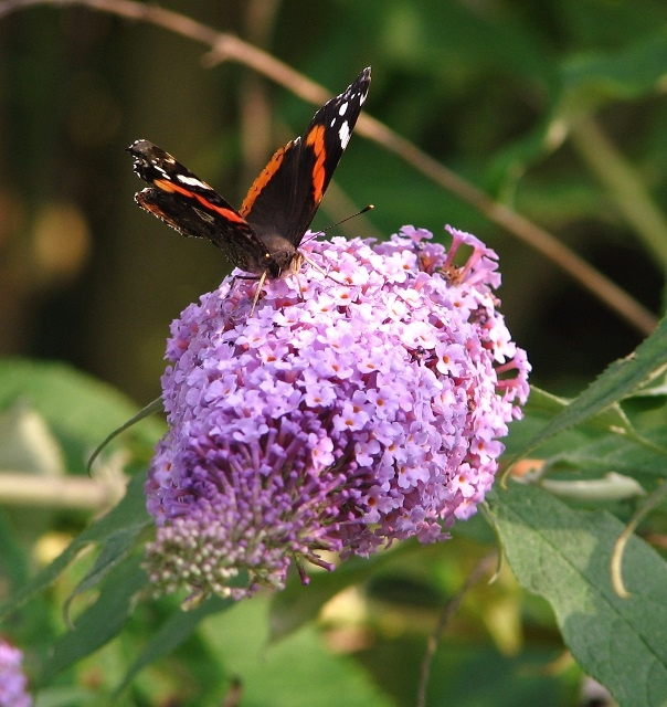 Red Admiral butterfly (Vanessa atalanta) on Buddleia