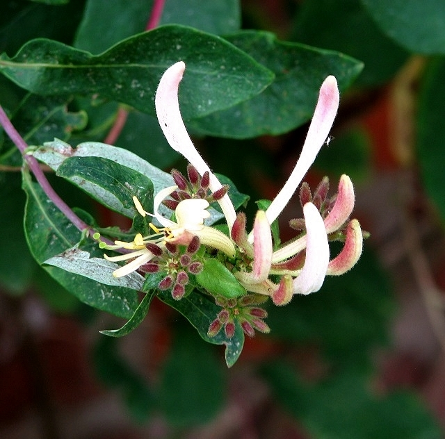 Honeysuckle (Lonicera periclymenum) - flower