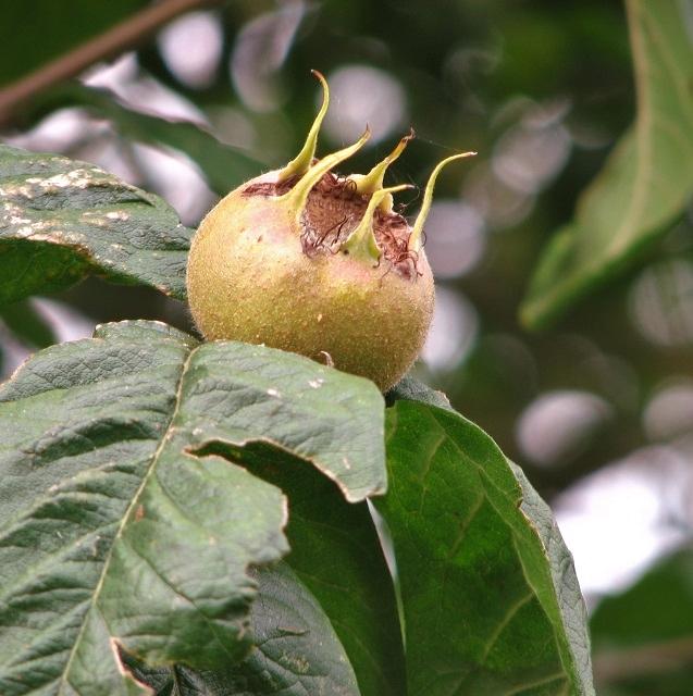 Medlar (Mespilus germanicus)