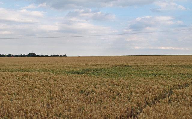 Barley Field near Colleybridge Farm, Radley Green