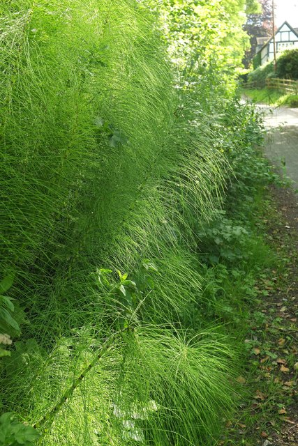 Horsetails by Hill Lane