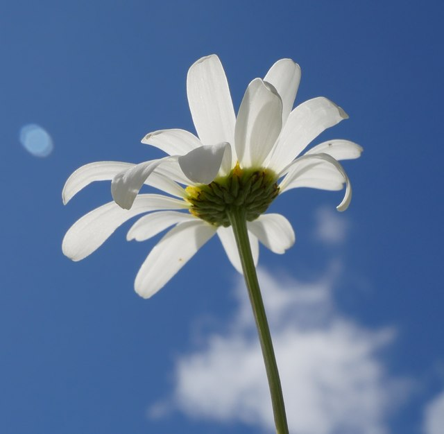An Oxeye Daisy At Riccarton Junction