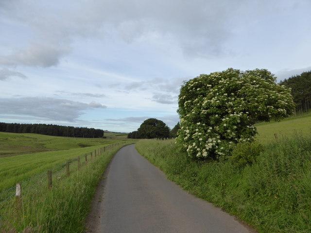 Elder tree near Dunsyre