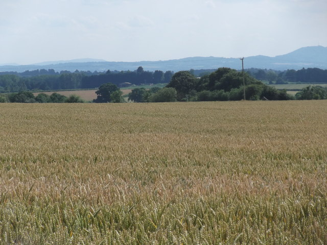 View across the wheatfield to the Wrekin