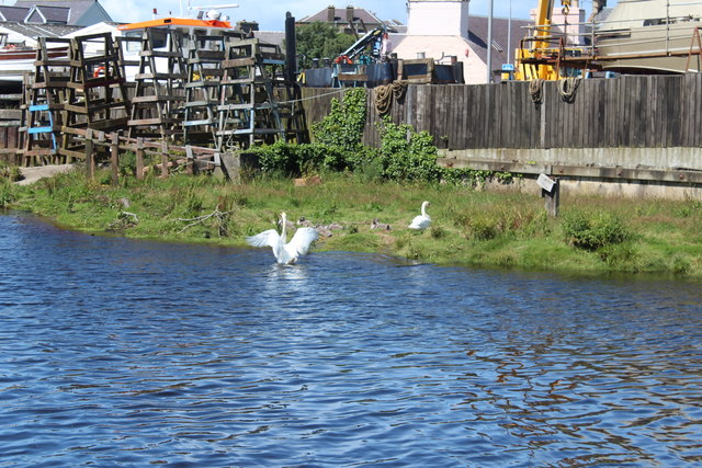 Swans and Cygnets, Girvan