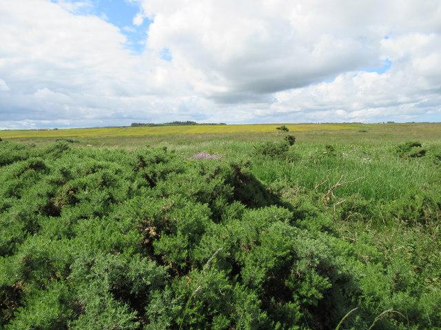 Field of yellow across Burn of Bower near Wick