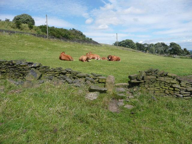 Stile on Halifax FP636, and cattle sunbathing, Warley