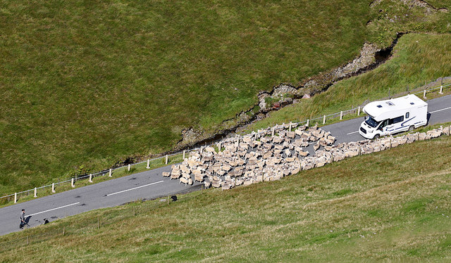 Herding sheep on the A708