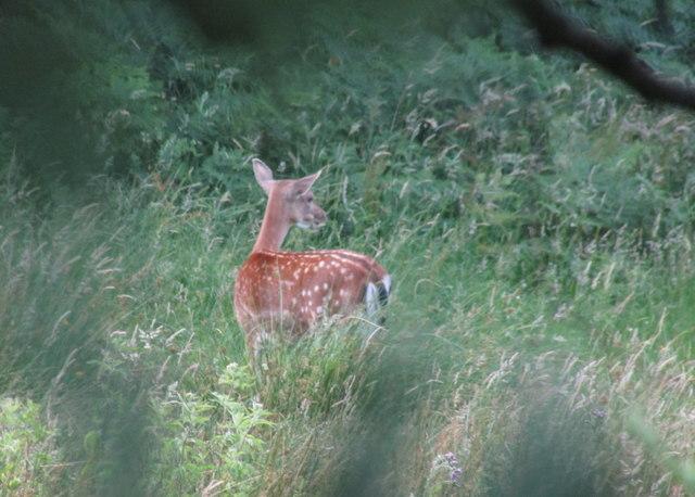 Fallow deer near Castle Hill