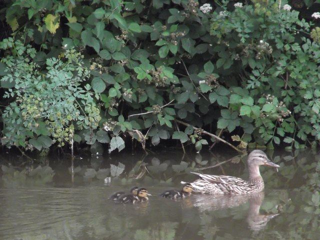 Mother duck and offspring
