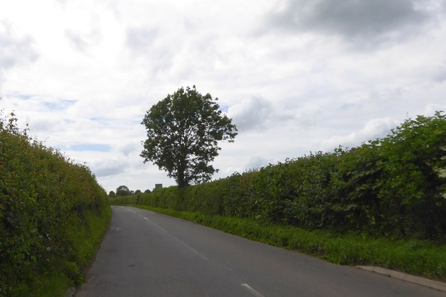 Solitary tree in the hedge of Westwood Road