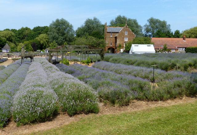 Norfolk Lavender Farm at Heacham