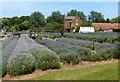 TF6837 : Norfolk Lavender Farm at Heacham by Mat Fascione