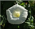 SX8359 : Great bindweed at Middle Longcombe by Derek Harper