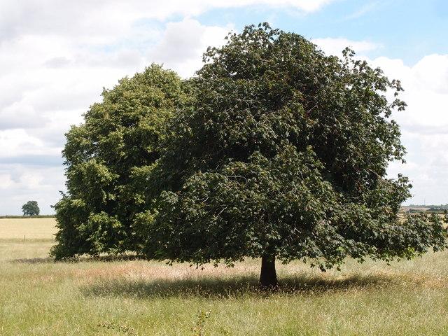 Tree canopies near Woodside farm