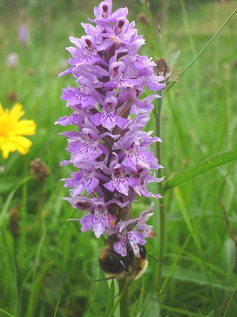 Bee on orchid, Langstrothdale