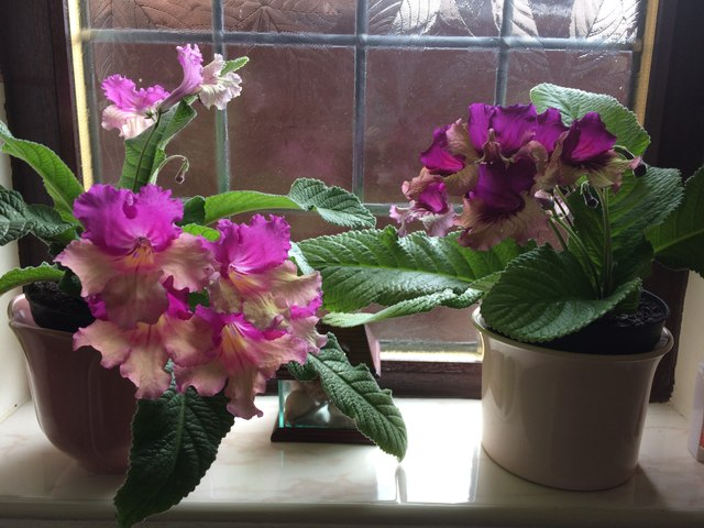 Streptocarpus Harlequin Dawn and Harlequin Purple
