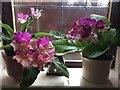 SH8076 : Streptocarpus Harlequin Dawn and Harlequin Purple by Richard Hoare