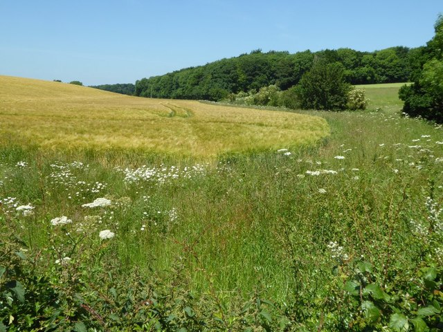 Barley field in Hammersmith Bottom