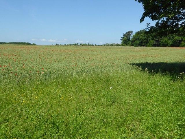 Wheat field near Beer Furlong Buildings