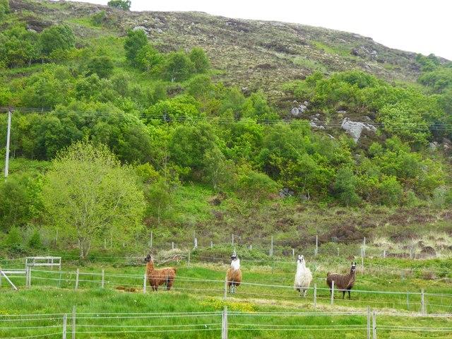 Llamas in a field at Camas Fearna