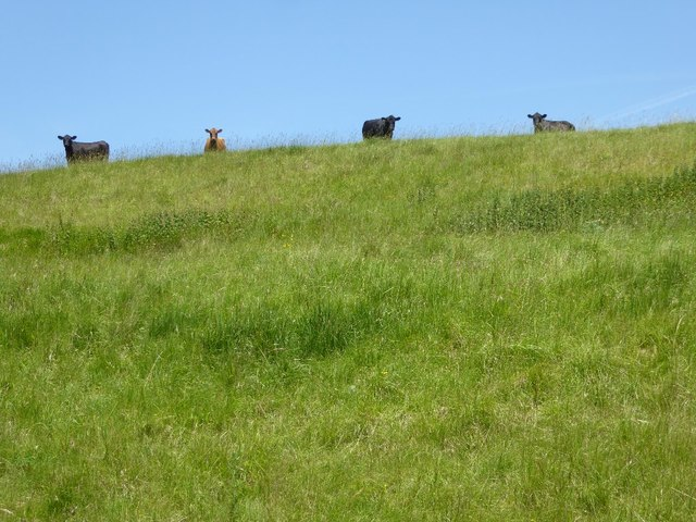 Cattle on the skyline