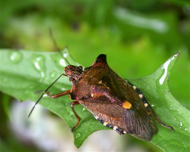 Forest bug, Churchland Lane