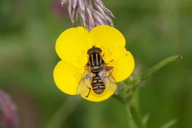 The hoverfly Helophilus pendulus, Setter, Weisdale