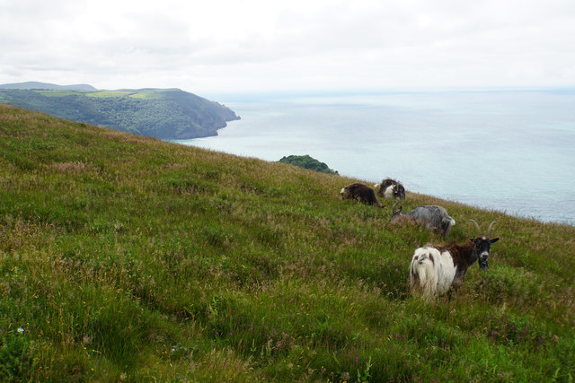 Feral goats above the Valley of Rocks