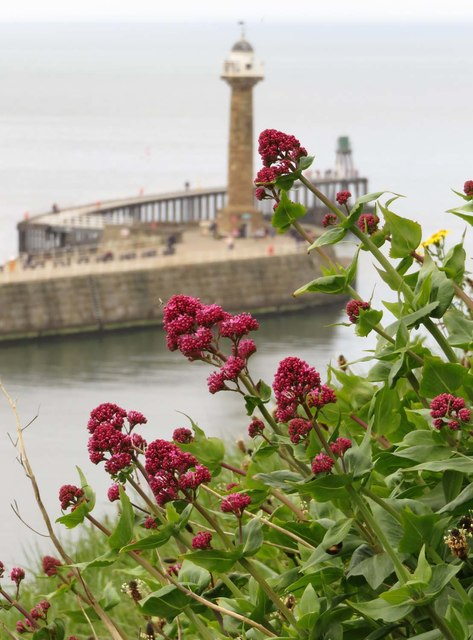 Red valerian by the 199 Steps