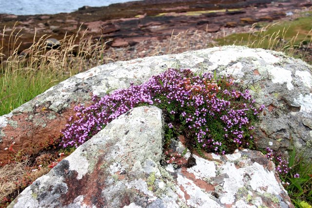 Wild thyme by the shore, Cumbrae