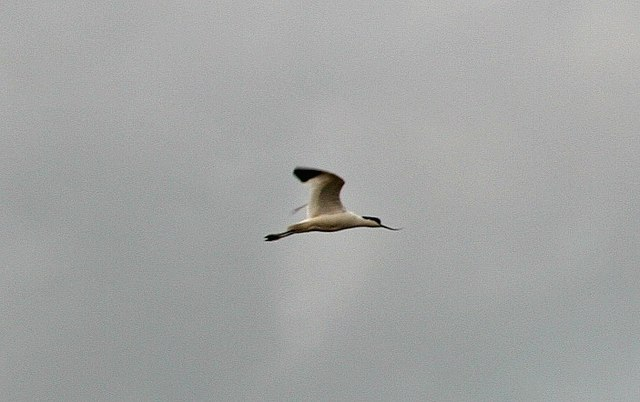 Avocet on the wetlands at Donna Nook