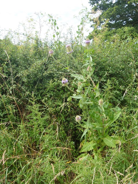 Teasel by the path