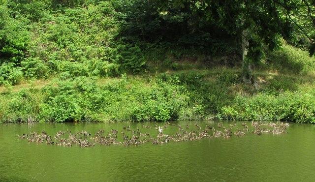 Ducks, Higher Water, Ugbrooke Park