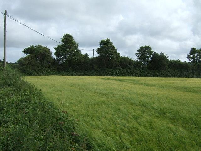 Cereal crop off Trenhayle Lane