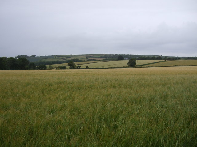 Cereal crop, St Erth Praze